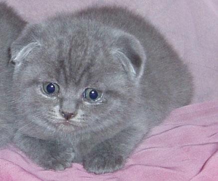 ловят ли вислоухие кошки мышей не ловят